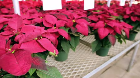 boŻe narodzenie : Poinsettia for sale at the local garden center.