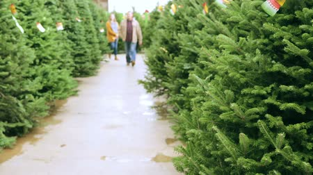 row : Beautiful fresh cut Christmas trees at Christmas tree farm.