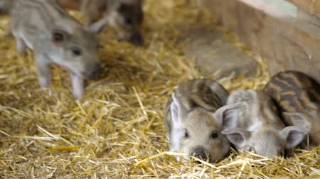 utilidade : Piglets in the barn on the farm.