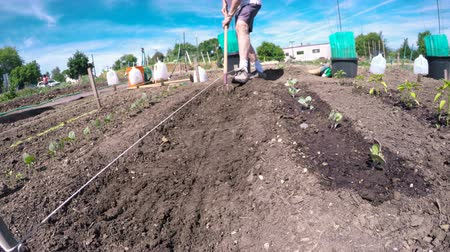bezelye : Organic vegetable community garden in early Summer. Stok Video