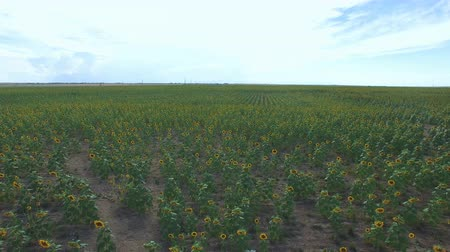 montanhas rochosas : Aerial view of blooming sunflower fields. Stock Footage