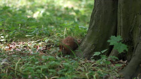 žalud : Squirrel in the park