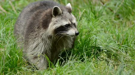 предъявитель : Raccoon walking through a green meadow towards the camera