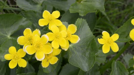 boggy : Caltha palustris ormarsh-marigold orkingcup on the faroe islands