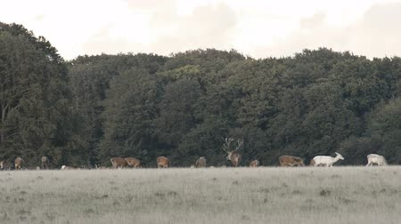 cervus elaphus : Red deer,Cervus elaphus roaring during the mating season in autumn