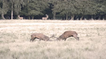 jelen : Two male red deer,Cervus elaphus fighting during the mating season in autumn Wideo