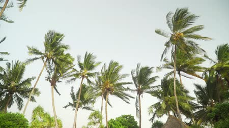 gale : Isolated coconut palm trees against the bright sky before sunset. Palm leaves moving in the wind in the evening.