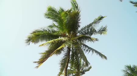 Isolated coconut palm trees against the bright sky before sunset. Palm leaves moving in the wind in the evening. Slow motion footage.