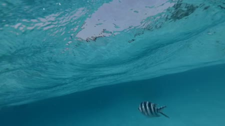 Lot of striped black and white fish swim in front of the camera under water. Yachts and wooden boats on the background.  Underwater split screen footage.