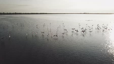 brodění : Incredible sunset flamingo flock in large lake. Serene aerial view over flamingos taking flight