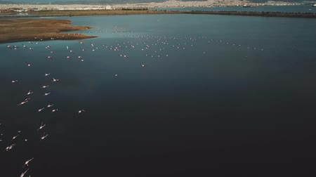 flamingi : Breathtaking shot of drone flying together with a large flock of pink flamingos over a lake Wideo