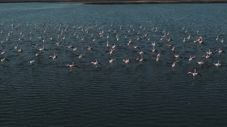 flamingi : Aerial View Flock of Wild Flamingo Stretching the Wings on Lake