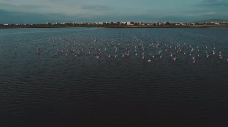flamingi : Drone aproaches a large flock of pink flamingos on an industrial lake zone Wideo
