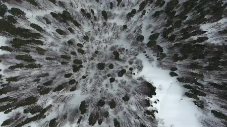 кедр : Top aerial view of winter mixed coniferous forest.
