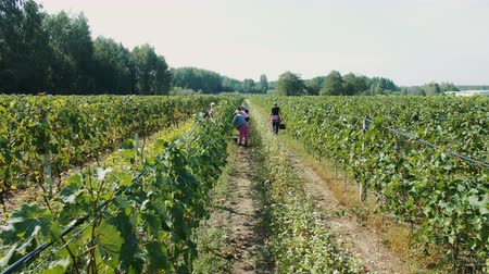 viticultura : People picking grape during harvest season.