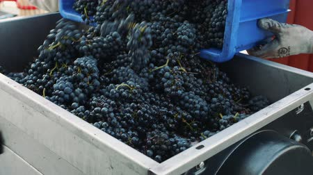 winemaking : Pouring ripe grapes into grinder