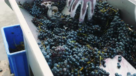 winogrona : Processing of ripe grapes in machine.