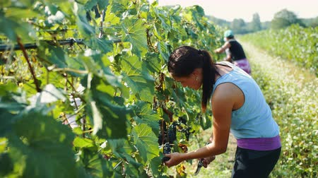 viticultura : Harvesters cutting bunch of grapes in vineyard rows Stock Footage