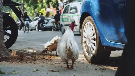петух : Cock walking on the big city Hanoi. Vietnam. Asia