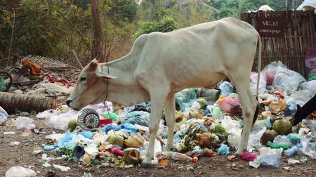 Ангкор : Cow Feeding On Garbage In Angkor Wat Cambodia.