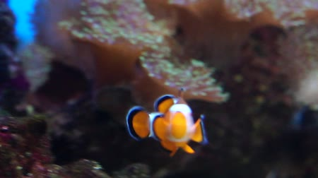bunter fisch : Clown Fische im Aquarium