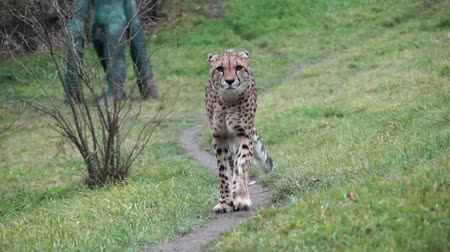 gepard : Cheetah on the trail