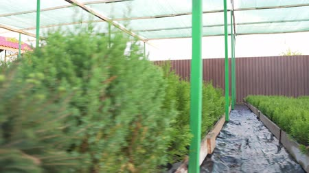 hydroponic : Thuja, ornamental shrubs and conifers in small pots. Renewable Natural Resources Farm