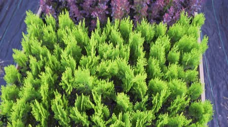 лесное хозяйство : Many beautiful little thuja in pots and other ornamental plants grown for sale
