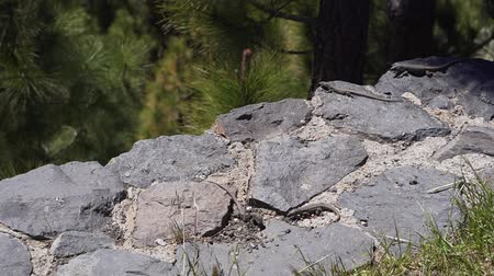 sunning : Several small lizards in the wild bask in the sun on the rocks and eat grass. Little wild reptiles Stock Footage