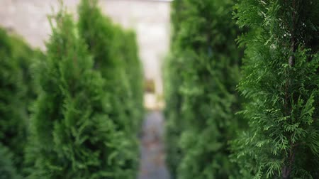 кедр : Growing evergreens to cleanse the air and improve the environment. Green coniferous western arborvitae in a plant nursery, close-up