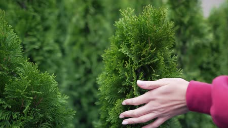percepção : Female hand stroking a coniferous seedling. The concept of care and attention to ecology and environmental problems. Coniferous branch for Christmas decorations Stock Footage