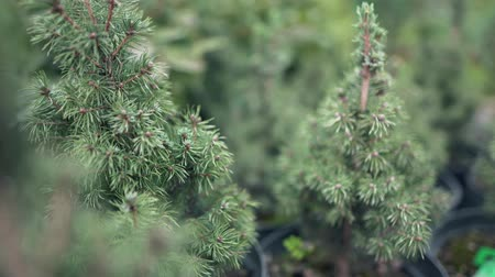 softwood forest : Little Christmas trees in pots in the nursery. Coniferous tree, which does not need to be thrown away, but can be planted in the ground. Coniferous branch for the holidays