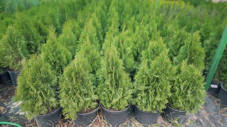 fotoszintézis : Set of beautiful coniferous evergreen thuja outdoors. Agriculture, growing plants to maintain the ecology and renewal of natural resources. Caring for the environment, love of nature