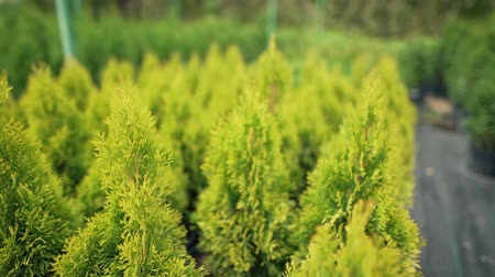 ginepro : Beautiful bright coniferous plants for sale in a nursery. Growing decorative yellow thuja. Small business