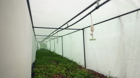 działka : Sprinklers hang in a wet greenhouse over coniferous seedlings of plants. Automatic irrigation system in agriculture. Watering machine over evergreen thuja in cassettes