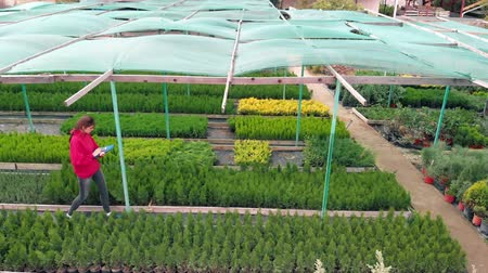 conifère : Profession florist, a woman outdoors in a plant nursery inspects planting material. Aerial view. Shrubs and trees growing control Vidéos Libres De Droits