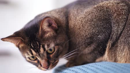 Beautiful playful home cat close-up. Abyssinian hunts for toy at home on bed
