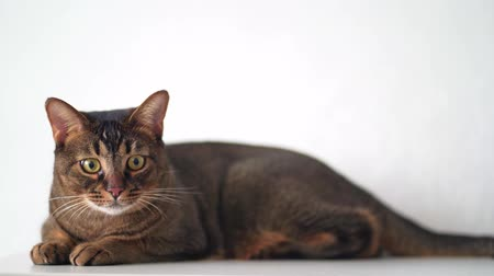 Funny playful beautiful cat lies on a pedestal and watches big eyes for the toy. Abyssinian breed of pet