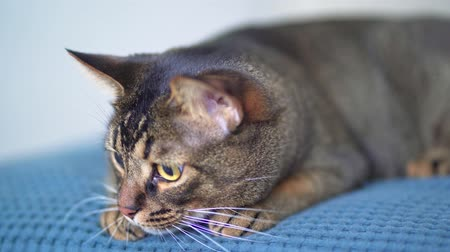 Domestic pet - Abyssinian cat is played, lying on the bed. Big eyes with widening pupils. Beautiful pet with brown hair