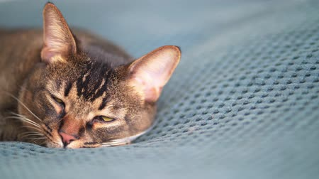 Abyssinian cat sleeps and dreams. Comfort and relaxation - a pet in bed on a blue plaid