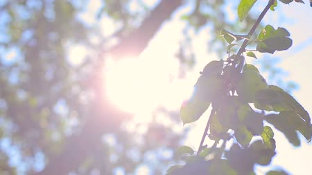 Play of sunbeams through apple tree foliage on the wind. Blur nature background Stock Footage