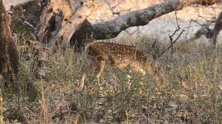 kanha : Spotted deer (Axis axis) National Park, India Stock Footage