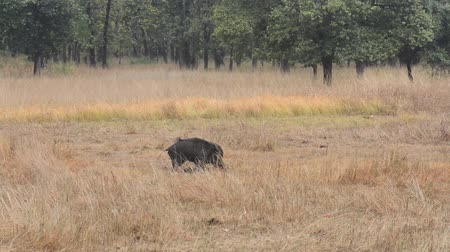 cristatus : Indian Boar in the Forest in National Park in India Stock Footage