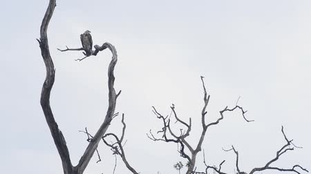 гриф : griffon, the black vulture, National Park, India