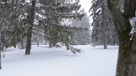 spruce forest : Beautiful winter landscape with snow covered trees Stock Footage