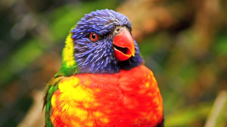 Rainbow Lorikeet (Colorful Parrot) Bird - Portrait, Close Up