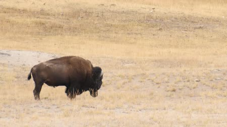 Wild Buffalo  Bison in Yellowstone National Park Stockvideo