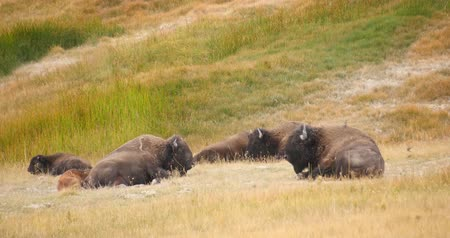 Kudde Wild Bison  Buffalo in Yellowstone National Park Stockvideo