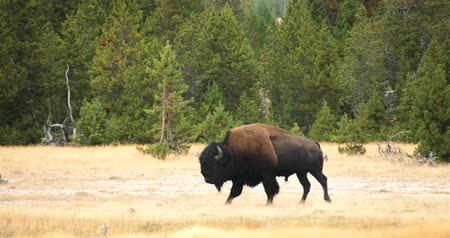 geiser : Wild Bison  Buffalo Wandelen in Yellowstone National Park Stockvideo