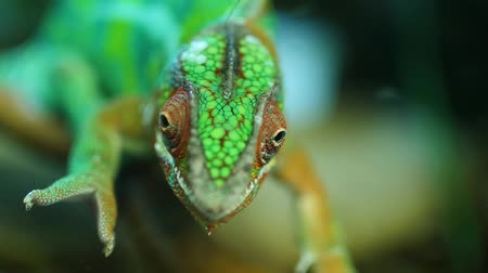 Portrait of Chameleon Lizard Wideo